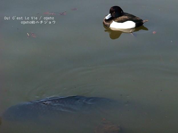 Photos: 鯉に丸呑みされぬよう注意。(2014年3月16日)