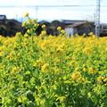 Photos: 冬の菜の花