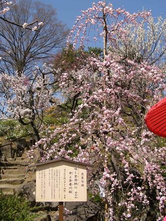 しだれ梅と芭蕉句碑「咲き乱す桃の中より初櫻」