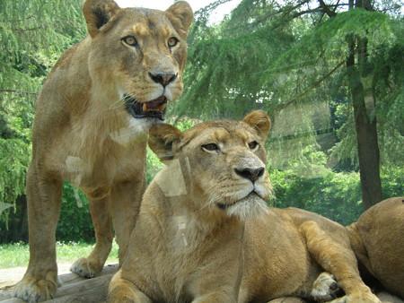ライオン「何か文句があるかよ」