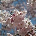 四季桜 見頃です