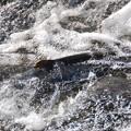 Photos: 魚道で堪える鮭