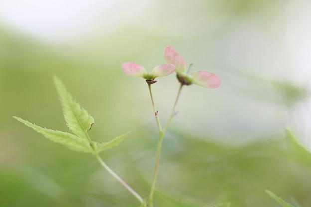 もみじの花-1