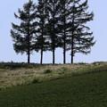 Photos: 丘に佇む五本松。(2)