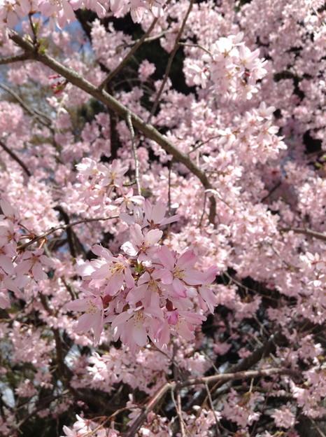 1401-鴨川沿いの桜5