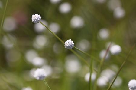 矢並湿地:白玉星草