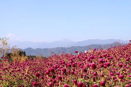牧歌の里:千日紅と白山
