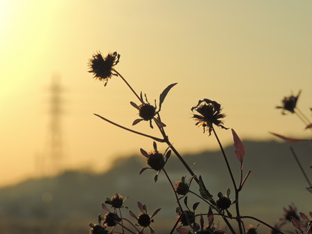 夕陽と輝く雑草