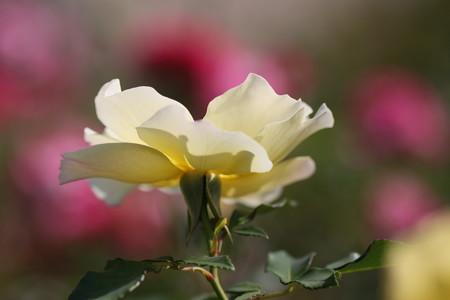 そっと触れたい薔薇の花