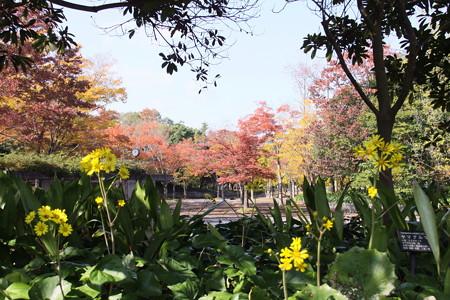 緑化センター:石蕗の花と紅葉