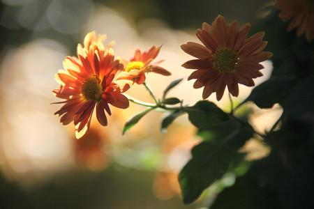 午後の小菊