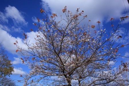 四季桜は満開!