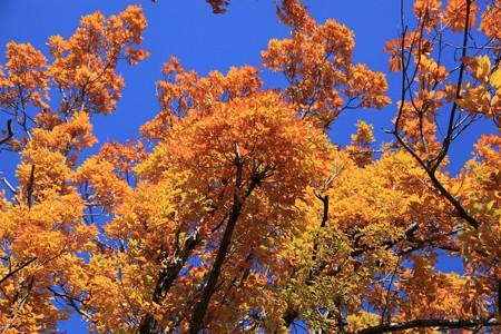 青空に輝く紅葉