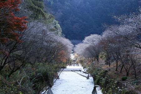 川沿いの四季桜