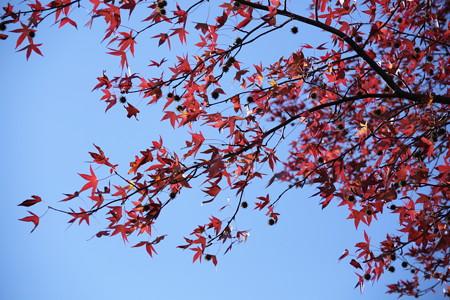 鈴懸の実と紅葉