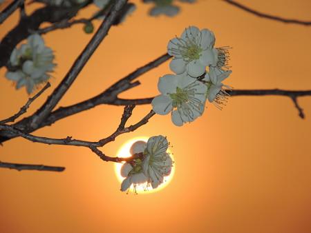 夕陽と白梅