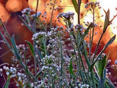 夕陽で輝く雑草
