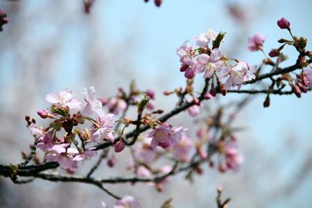 桜ー河津桜