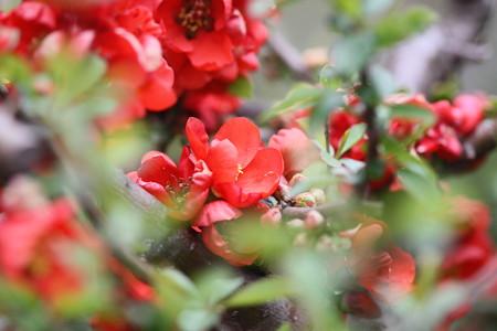木瓜の花園