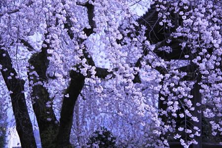 朧枝垂れ桜