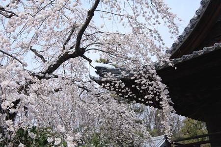 枝垂れ桜は優しく