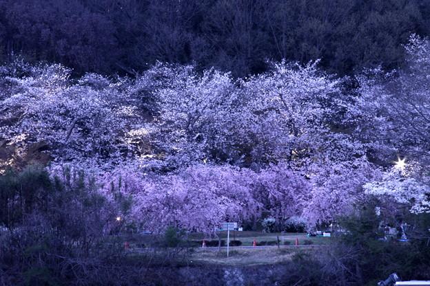 水源公園の夜桜2