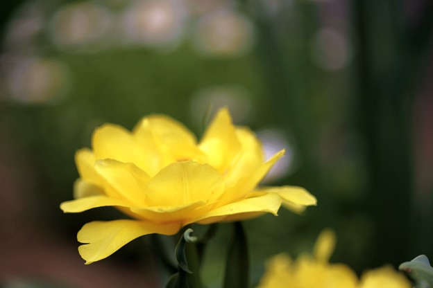 庭の花:チューリップ