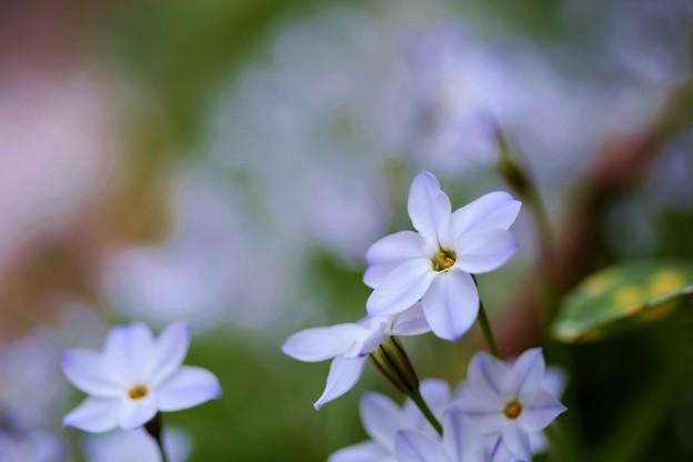 庭の花:花韮