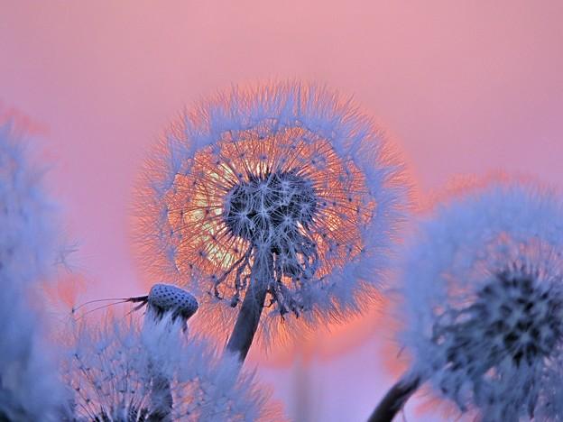 蒲公英と夕陽