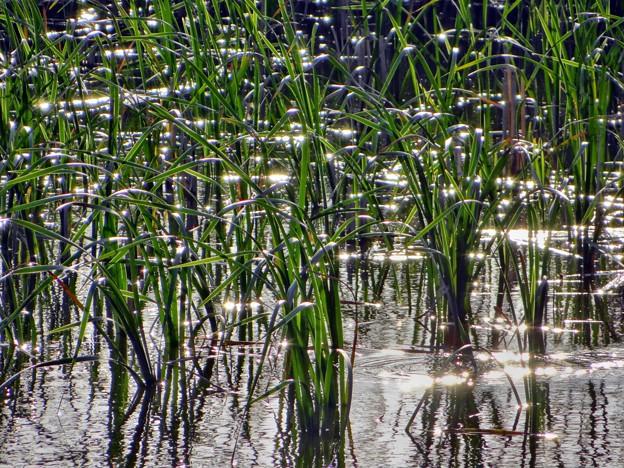 八ッ谷池の夕陽の煌き