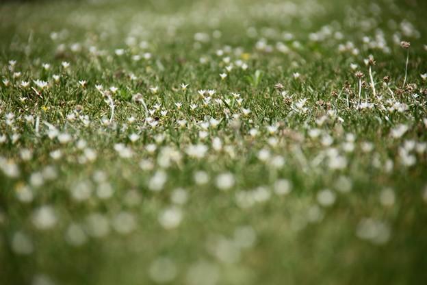 コメツユクサの草原