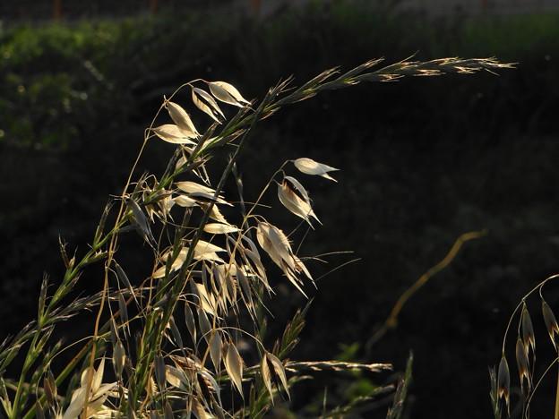 雑草の夕陽の輝き