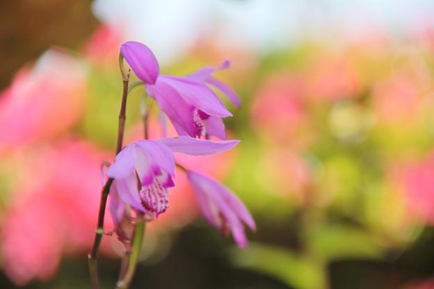 紫蘭の撮り納め