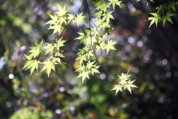 王滝渓谷:楓