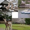 Photos: 4月3日の奈良公園