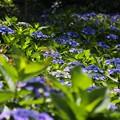 光の紫陽花