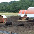 写真: 牛さんの寛ぎ