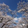 桜前線北上中