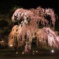 写真: しだれ桜に想いを