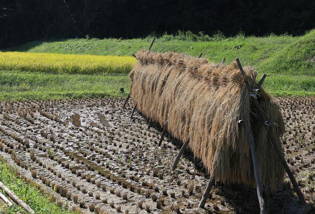 写真: 稲刈り乾燥