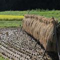 稲刈り乾燥