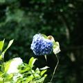 Photos: 一輪だけ咲く紫陽花