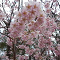 寒さの中の桜。