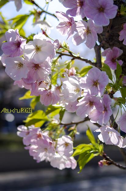 Oshimazakura_FA31_K5IIs