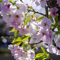 Photos: Oshimazakura_FA31_K5IIs