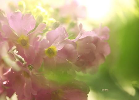 さくら草♪