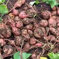 Photos: 安納芋の収穫 s-IMG_0169