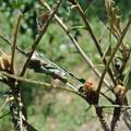 Photos: びわの葉の虫被害