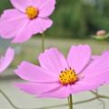 Photos: ピンクのコスモス