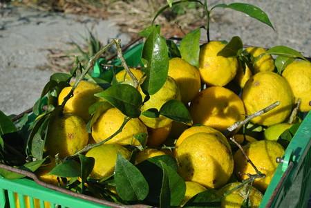 11月の柚子収穫